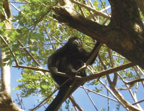 A tropical rain forest monkey in Costa Rica.
