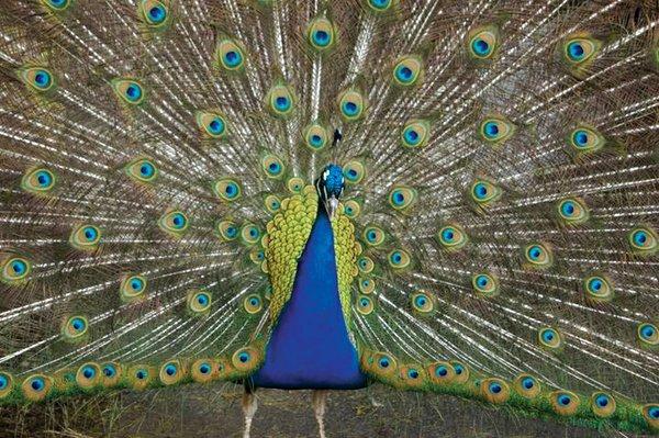 Franklin--Peacock.jpg