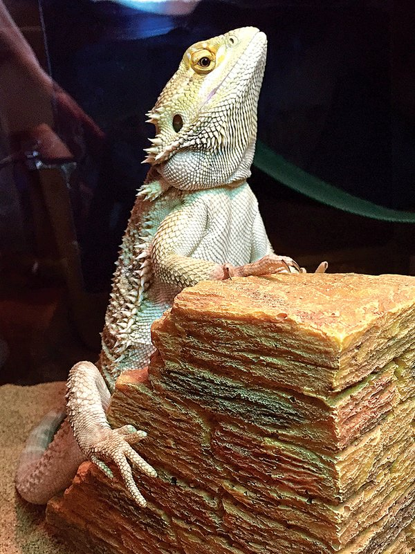 Sunny--Bearded-Dragon-Lizard.jpg