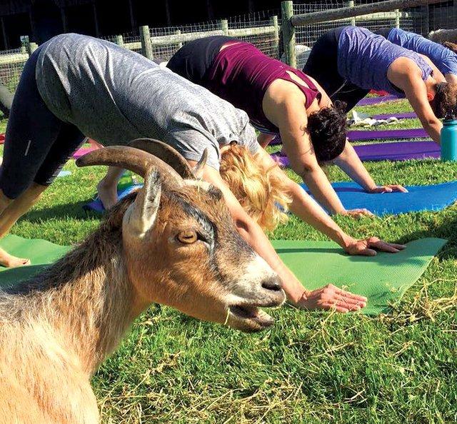 Goat Yoga at Water and Rock Studio