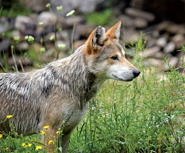 Mexican gray wolf at the Lehigh Valley Zoo