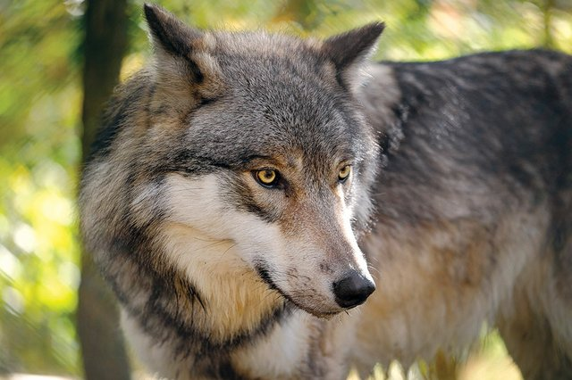 Expedition to Lakota Wolf Preserve