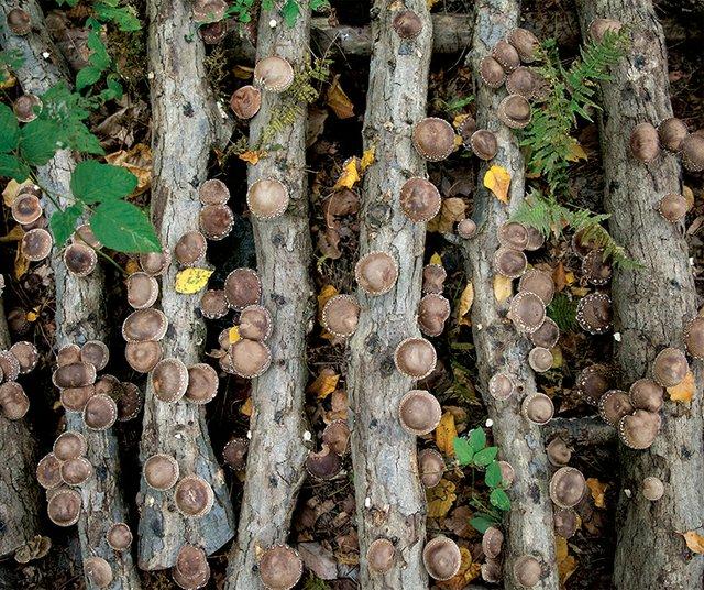 mushroom growing at Oleksa Farm